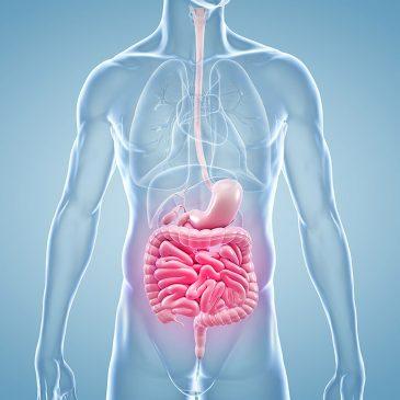 Körper mit Hervorhebungen von Magen und Darm. Trinkwasser im Körper